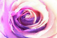 Colored Rose by Laurel Wang