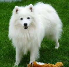 Chien - Japanese Spitz - Ikkõ on www.yummypets.com Dog, pets, animals, puppy, pup, pooch, cute, wouaf, Yummypets