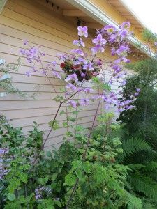 thalictrum - a sense of shape and height on this thing