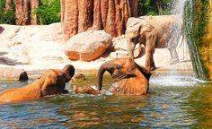 Enjoy these fantastic animals in their natural habitat in Bioparc of Valencia.  Disfruta de estos fantasticos animales en su habitat natural, en el Bioparc de Valencia.  http://www.valenciabusturistic.com/