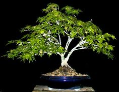 Bonsai Ficus, Bonsai Styles, Gardening, Image, Plants, Lawn And Garden, Horticulture