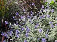 You may know it as bluebeard or blue spirea, but if you're a fan of blue and don't grow Caryopteris x clandonensis (zones 5/6 to 9), you're missing out. Easy to grow in sun or light shade, varieties of this shrub bloom late in a palette of cool blues — a mouthwatering counterpoint to fall's warm tones. Chop it down in late winter and it will stay a tidy 3 feet high.