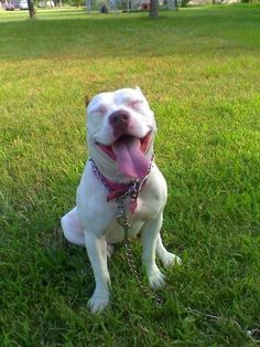 #pitbulls #dogs if you believe that pitbulls are vicious monsters, think again.: Pittie Smile, Pitbull Smile, Happy Face, Pitbulls Smile, Pitbulls Dogs, Happy Girl, Pit Bull, Happy Pittie