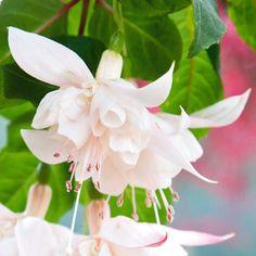 Fuchsia 'White King' - Perennial & Biennial Plants - Thompson & Morgan