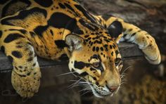 You think I'm just chillin' really I'm getting ready to pounce.       llbwwb:  Clouded Leopard by Mandy Serria.