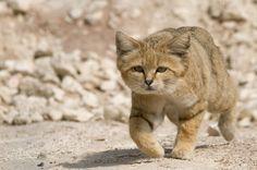 Actu : Le chat des sables de retour aux Emirats Arabes Unis