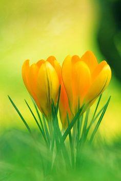 yellow_crocus_flowers