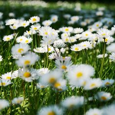 Love rows and rows of daisies
