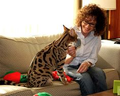 The larger size of a Savannah Cat  (pic. from Drinkwater Bengals & Savannah's).