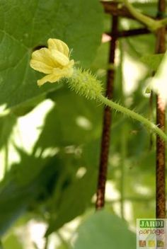 fleur kiwano