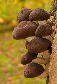 Agrocybe cilindracea | by Diego Reyes Arellano