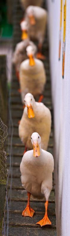Patos en silencio caminando en una pasarela