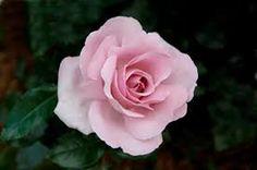 """Résultat de recherche d'images pour """"la rose du petit prince"""""""