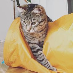 Lucky 9 months ago. #throwbackthursday #luckythecat #love #cute #catsofsalzburg #salzburg #austria #cat #meow #ilovemypet #catlovers #lovekittens #instapet #catsagram #kitten #kitty #catstagram #kittycat #catsofinstagram #ilovemycat #catlove #catoftheday #furry #cats_of_instagram #cats #catlife #katze #katzenliebe #miezekatze