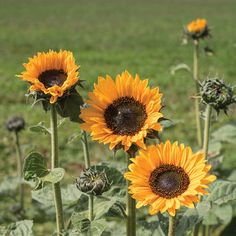 8 Best Sunflower Varities images in 2015 | Flowers, Plants, Garden