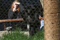 Zoo Knoxville saddened by unexpected death of Naomi Gibbon Gibbon Ape, East Tennessee, Great Smoky Mountains, National Parks, Dogs, Animals, Animales, Animaux, Pet Dogs