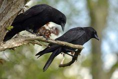 People like grapes. Crows like peanuts.