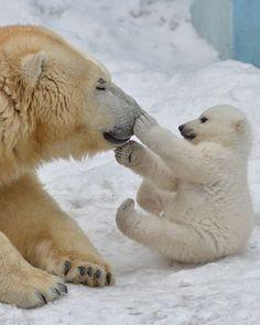 Polar bears cute baby animals, animals and pets, nature animals, beautiful Penguins And Polar Bears, Baby Polar Bears, Cute Polar Bear, Cute Animal Videos, Cute Animal Pictures, Nature Animals, Animals And Pets, Cute Baby Animals, Funny Animals