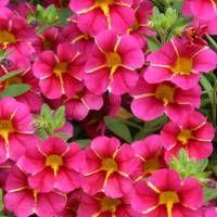 #ProvenWinners   The Charming & Cheerful Superbells Cherry Star