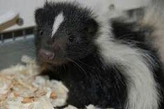 Baby Skunk.