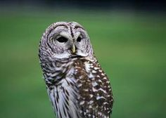 Info on Iowa's owls from Polk County Conservation