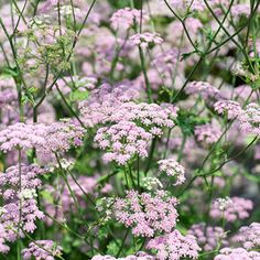 Pimpinella major 'Rosea' seeds Need to sow in fall Flower Farm, Flower Beds, Garden Seeds, Garden Plants, Growing Blueberries, Blueberry Plant, Plant Order, Beneficial Insects, Beautiful Gardens