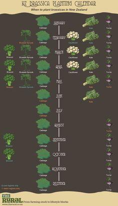 New Zealand Brassica Planting Calendar - Garden Drawing Indoor Vegetable Gardening, Organic Gardening Tips, Veggie Gardens, Organic Vegetables, Growing Vegetables, Dubai Miracle Garden, Garden Drawing, Meteor Garden 2018, Grow Organic