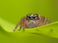 Jumping spider, how can you not love that face!