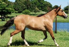 Criollo, the native horse of Uruguay, Argentina, Brazil, and Paraguay. Intelligent and willing, it was developed from Iberian horses and has exceptional endurance. It is seen in most colors but light dun and grulla is preferred.