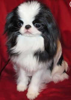 The Japanese Chin do well with children but do not tolerate commotion or roughhousing. These lively, charming, happy dogs are easygoing, loyal, and full of life. Japanese Chin Puppies, Japanese Dogs, Cute Puppies, Cute Dogs, Sweet Dogs, Companion Dog, Dog Life, I Love Dogs, Fur Babies
