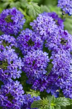 Want to add some blue flowers to your garden but don't want to do too much work? These easy care shrubs and perennials with beautiful blue flowers are just what you need. They all will look pretty in your garden and are all low maintenance plants. Purple Plants, Purple Garden, Shade Garden, Purple Flowers, Garden Plants, Full Shade Plants, Pink Plant, Garden Bulbs, Exotic Flowers