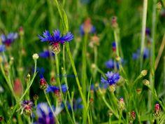 Suszymy zioła, kwiaty, liście cz. 2 - Moje Małe Czarowanie - Dorota Owczarek Begonia, Plants, Meals, Hibiscus, Meal, Food, Lunches, Yemek, Plant