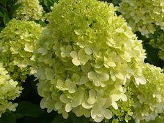 hydrangea paniculata limelight - Google zoeken