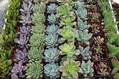 """70 Beautiful ALL ROSETTE  2"""" potted wedding favor succulents"""
