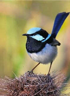 The splendid fairywren ~ Dreamy Nature