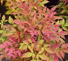 Nandina domestica Obsessed 2 litre.  A compact evergreen shrub, growing to a maximum height of 70cm.   Foliage is deep red in spring, maturi...