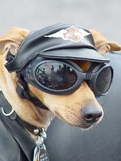 Harley-Davidson dog. Too cool for drool ;)