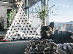 Basking in the sun at Awesome HQ, Leeds. Leeds, French Bulldog, Sun, Friends, Awesome, Dogs, Animals, Amigos, Animales