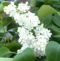 Angel White Lilacs For Sale | Angel White Lilac | Willis Orchards