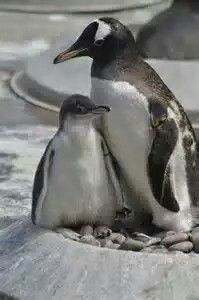 King Penguin Chick with its momma