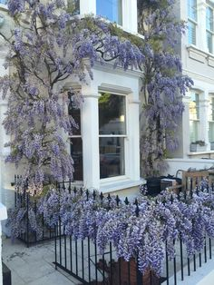 wisteria on a white victorian terrace