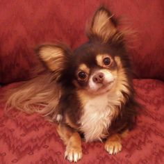 Nacho My Tri Colored Long Haired Chi