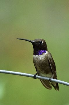 The Best Sites for Viewing Hummingbirds in Southeast Arizona. Spoiler: #1 is the Paton Center for Hummingbirds in Patagonia, AZ! Pictured: Black-chinned hummingbird.