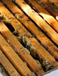 All hives, even healthy ones, will have wax moths. Wax moth treatment will keep the bees winning the battle against the wax moths and wax worms.