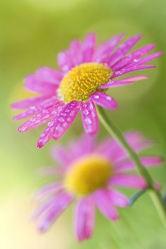Dill daisies by Mandy Disher, via Flickr