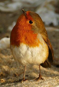 63 new ideas robin bird photography beautiful Pretty Birds, Cute Birds, Beautiful Birds, Animals Beautiful, Animals And Pets, Baby Animals, Cute Animals, Spring Birds, Tier Fotos