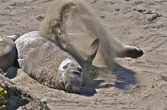 Sand-Flipping Northern Elephant Seals