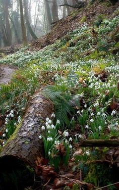 Woodland Bank where Snowdrops grow …. - Woodland Bank where Snowdrops grow . Forest Path, Woodland Forest, Forest Garden, Woodland Garden, Woodland Flowers, Forest Flowers, Forest Landscape, Beautiful World, Beautiful Gardens