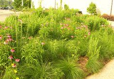 echinacea, liatris.aesclepias,mass sporobolus heterolepsis grounded design by Thomas Rainer: Perennials to Interplant in Grasses
