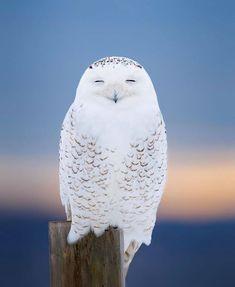 Wildlife Photography, Animal Photography, Bird Barn, Barn Owls, Interesting Animals, Snowy Owl, Bird Pictures, Owl Art, African Elephant